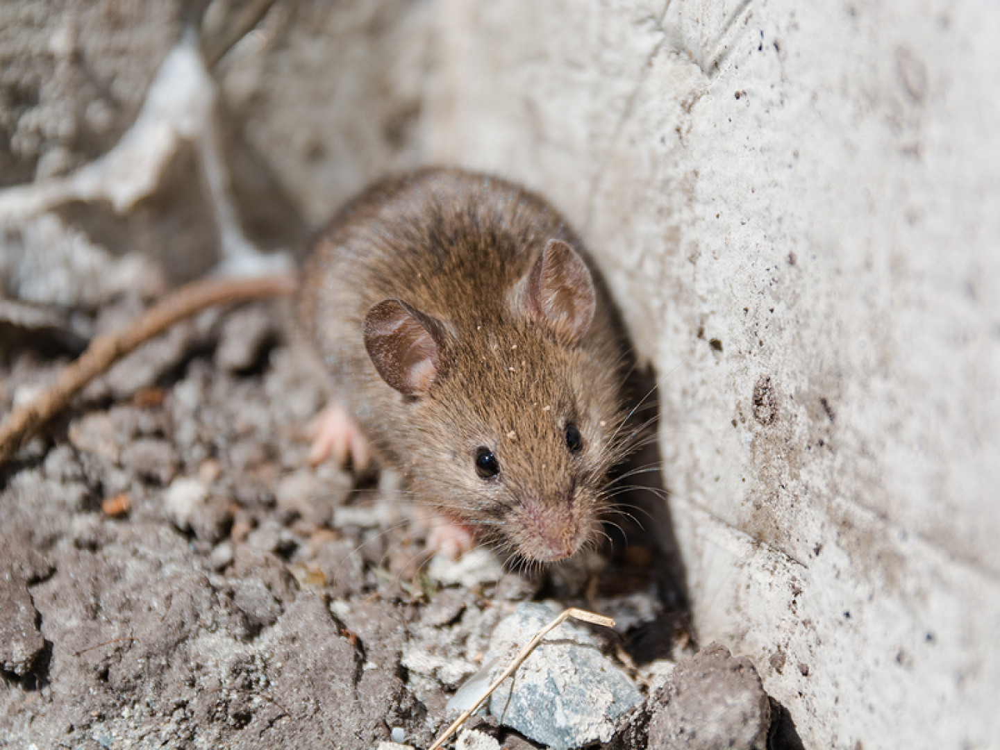 rodent extermination rochester ny